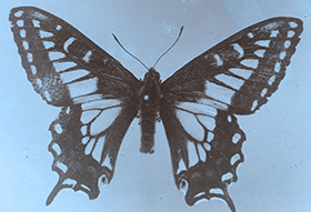 Papilio Brucei Butterfly
