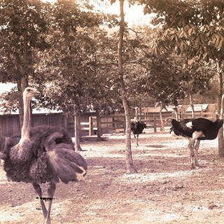 black and white photograph of three ostriches in a fenced area with trees